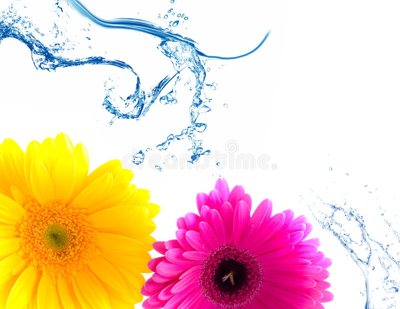 вода выплеска gerbera цветка стоковая фотография rf