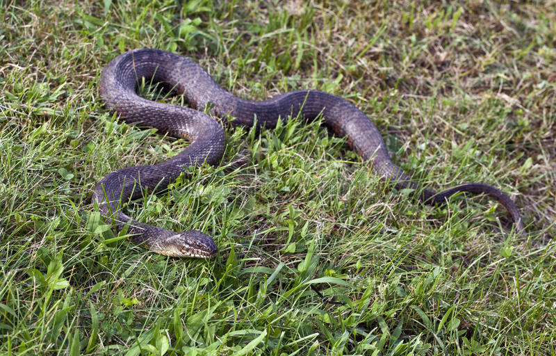 вода змейки sipedon nerodia северная стоковое фото rf