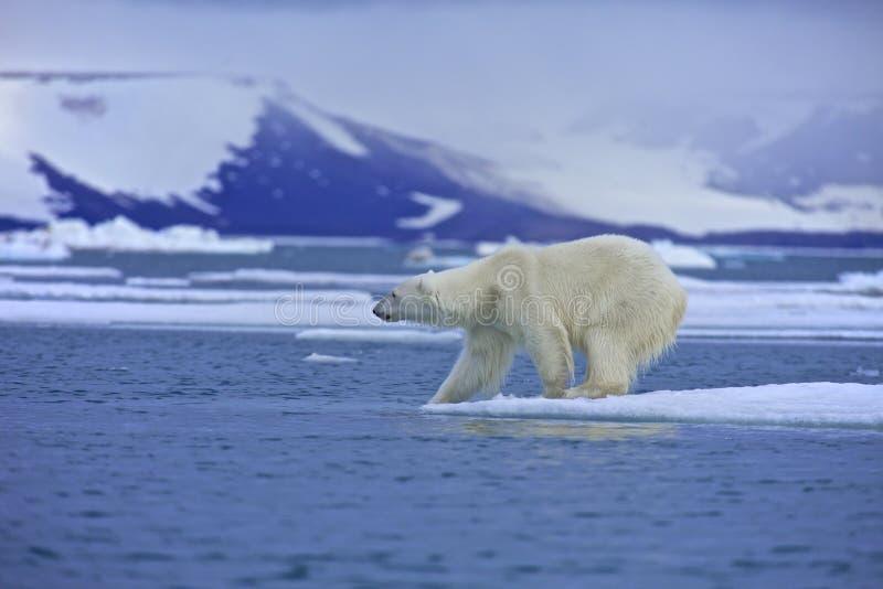 Вода испытания полярного медведя стоковая фотография