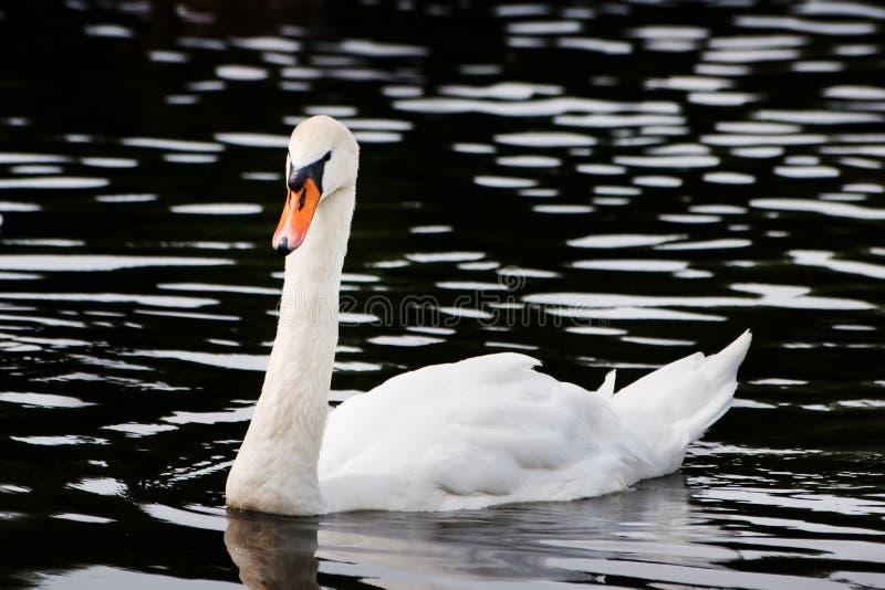 вода лебедя стоковое изображение