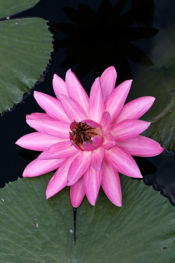 вода лилии стоковое фото rf