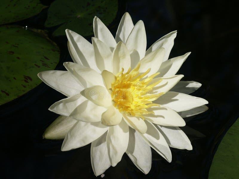 вода лилии стоковая фотография