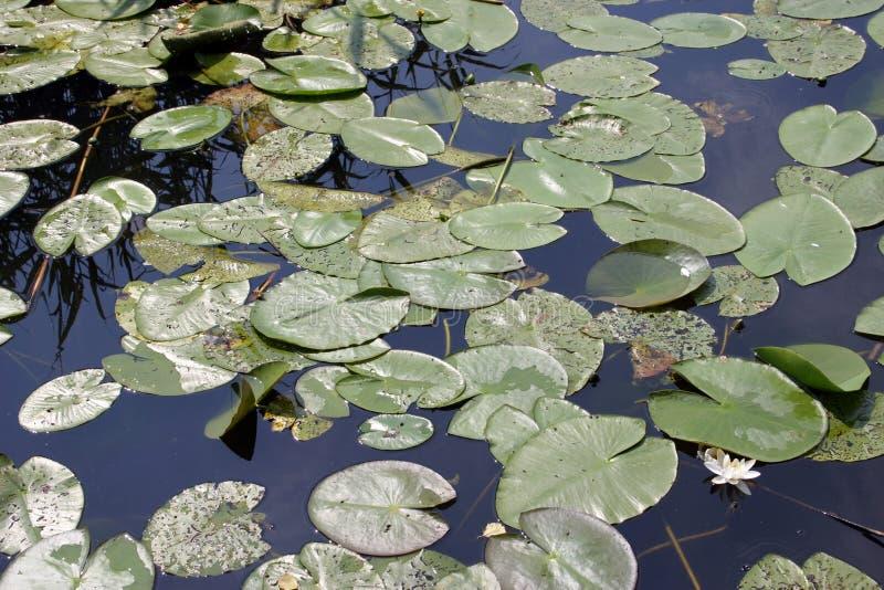 вода лилий стоковое фото rf