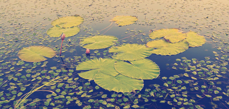 Вода Лили Падс стоковое фото rf