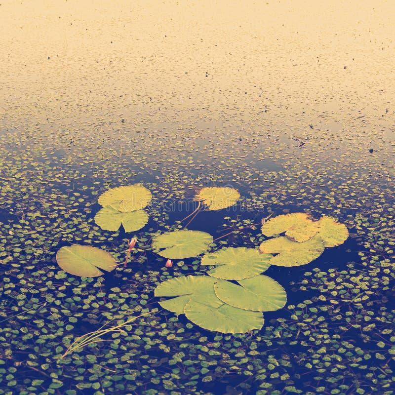 Вода Лили Падс стоковое изображение rf