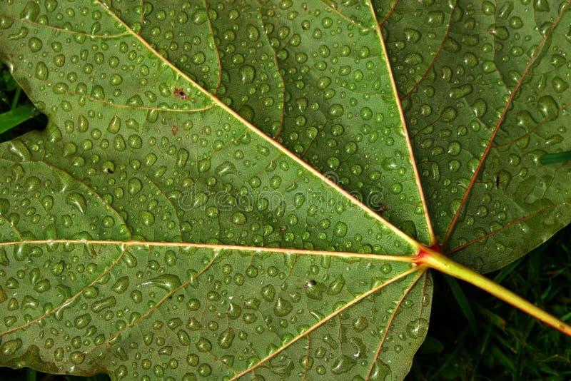 вода листьев капек Стоковое Фото