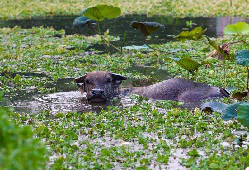 вода озера буйвола стоковое изображение rf