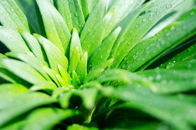 Вода падает на зеленые листья лилии Макрос-фотография стоковая фотография
