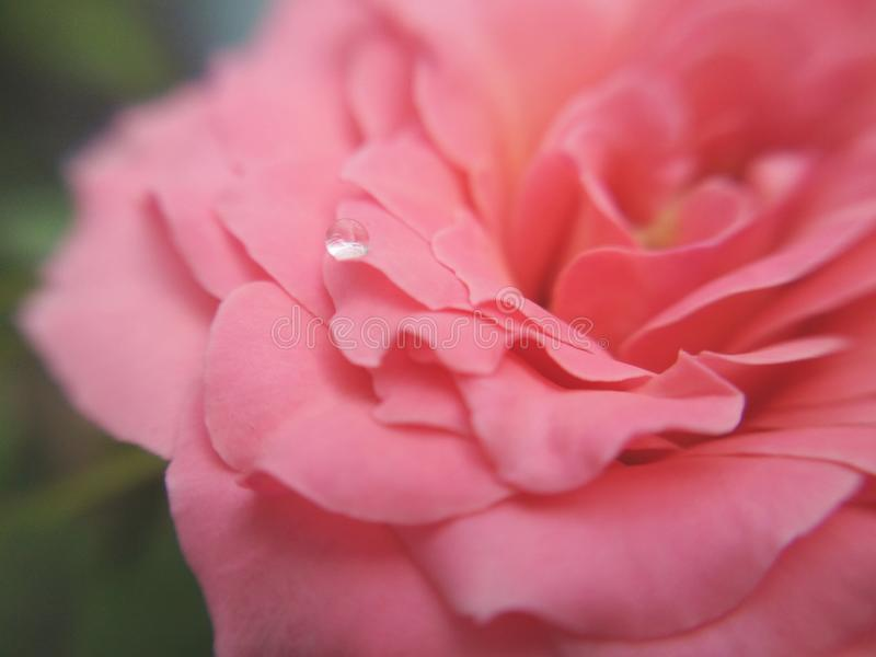 Вода падает на лепесток розового розового цветка стоковая фотография rf