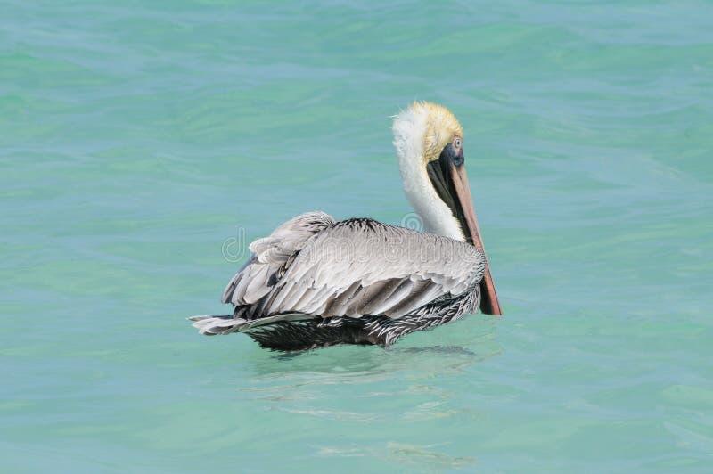 вода пеликана стоковая фотография