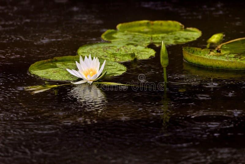 вода пусковых площадок лилии цветка стоковые изображения rf