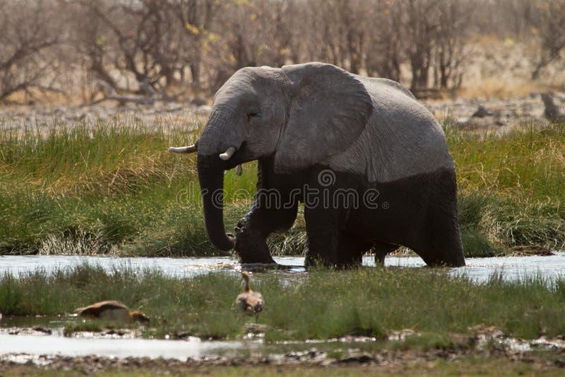 Download вода слона стоковое изображение. изображение насчитывающей группа - 18389075