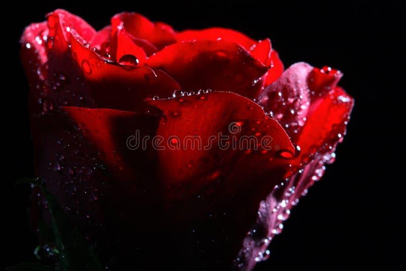 вода темных капек красная розовая стоковое изображение