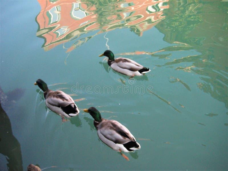 Вода, утки, семья и компания стоковое изображение rf