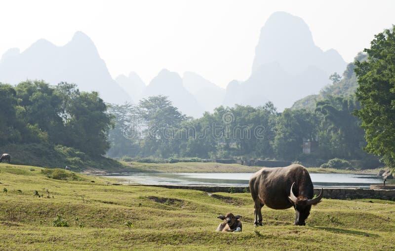 вода фарфора буйвола стоковое фото