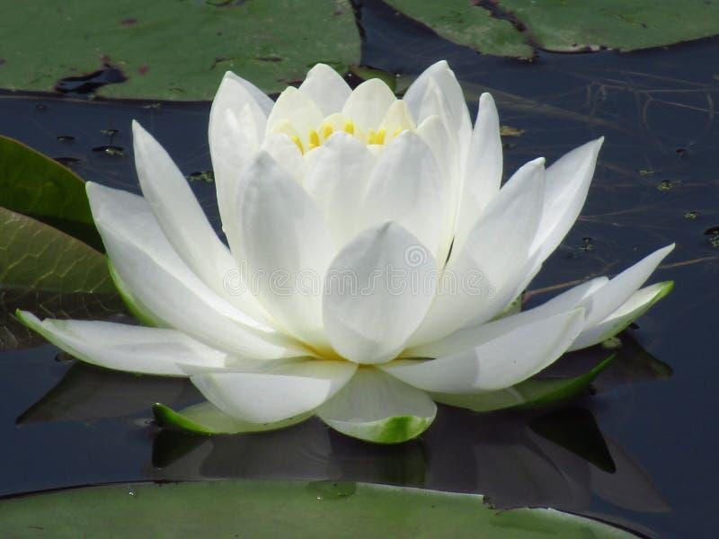 Вода Lilly стоковое изображение