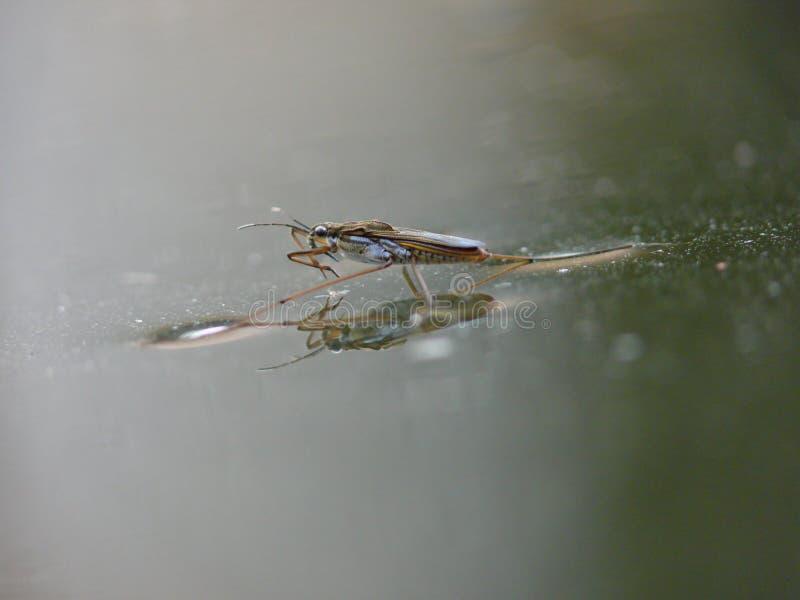 вода striders отражений пруда стоковые изображения