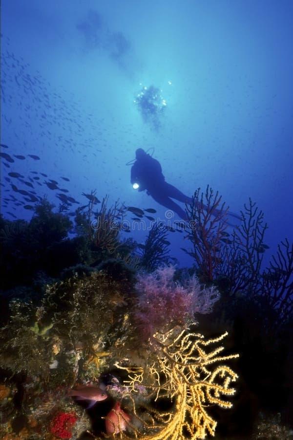 водолаз среднеземноморской стоковое изображение