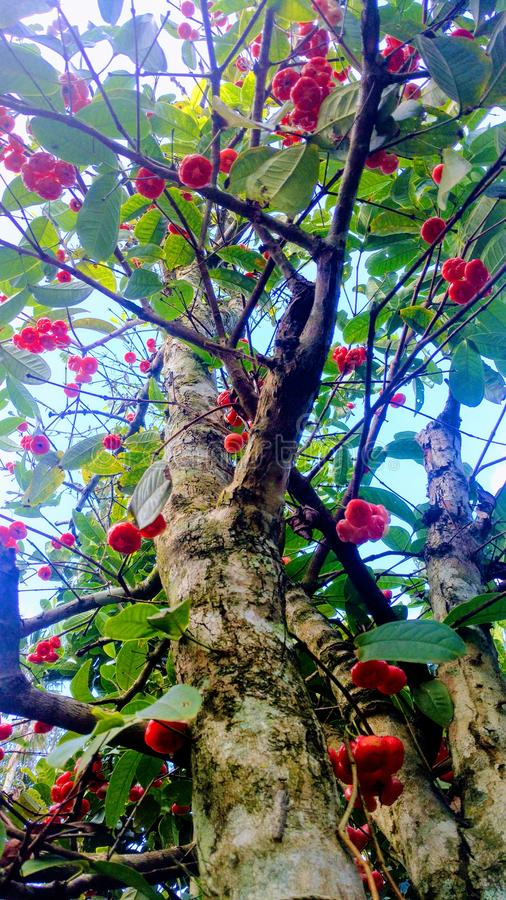 Водообильное розовое яблоко стоковое фото
