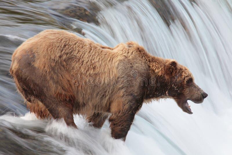 водопад katmai коричневого цвета медведя Аляски стоковые фотографии rf