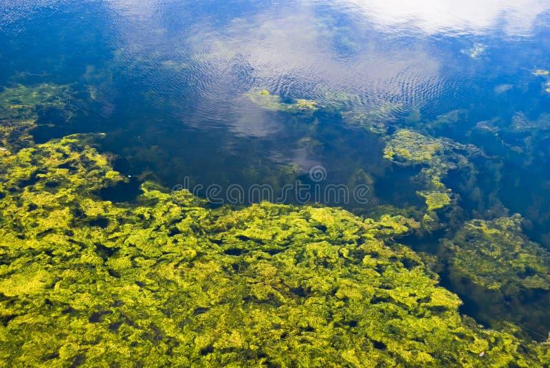 водоросли стоковое изображение