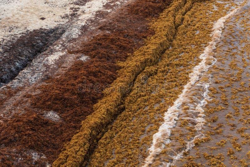 Водоросли Sargassum покрывают популярный пляж каникул Playa Del C стоковые изображения rf