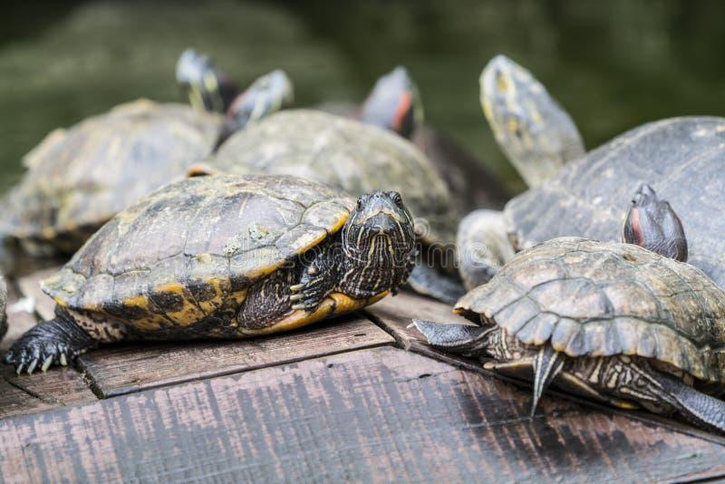 Водяные черепахи греясь под солнцем стоковое изображение