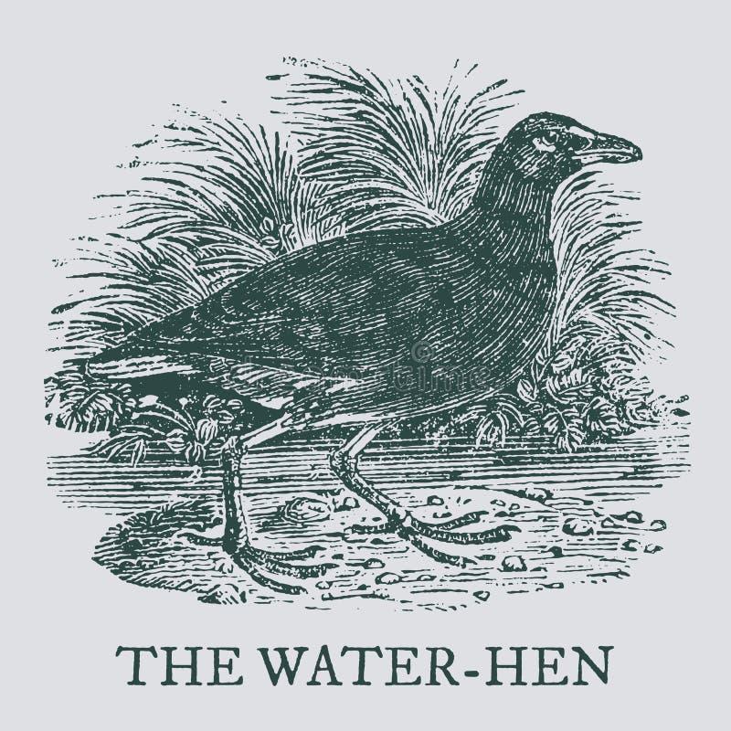Вод-курица Иллюстрация после винтажной гравировки woodcut иллюстрация вектора