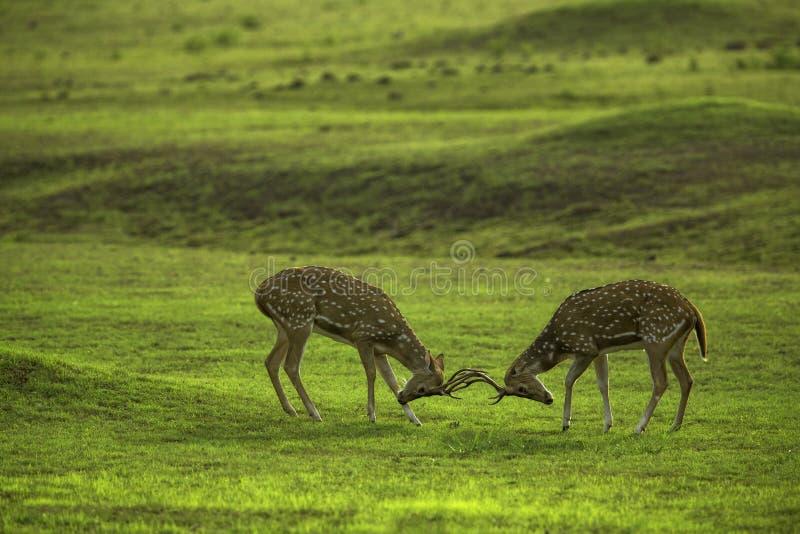 воевать deers стоковые изображения