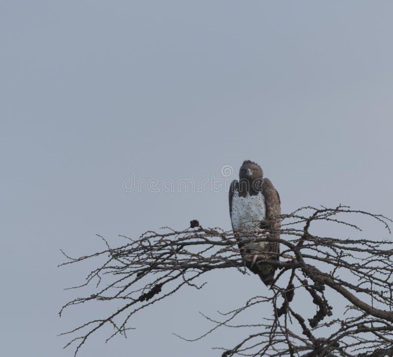 Военный орел, bellicosus Polemaetus стоковые фото