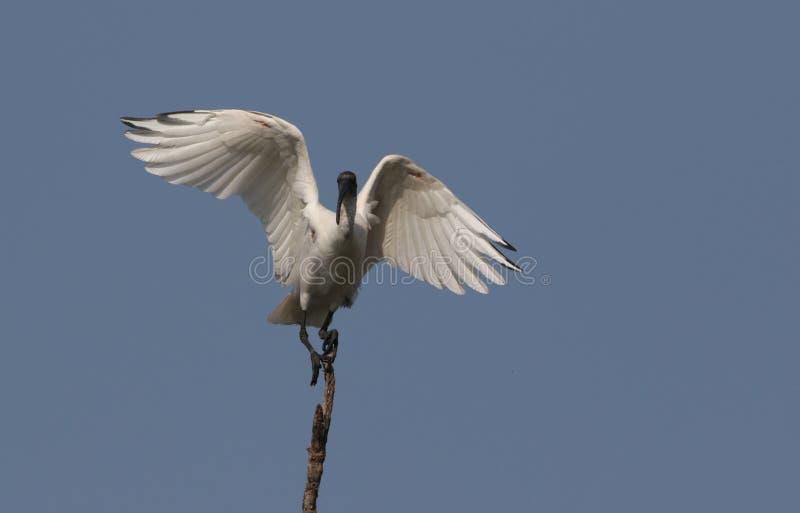 Возглавленное чернотой белое распространение пер ibis стоковые фотографии rf