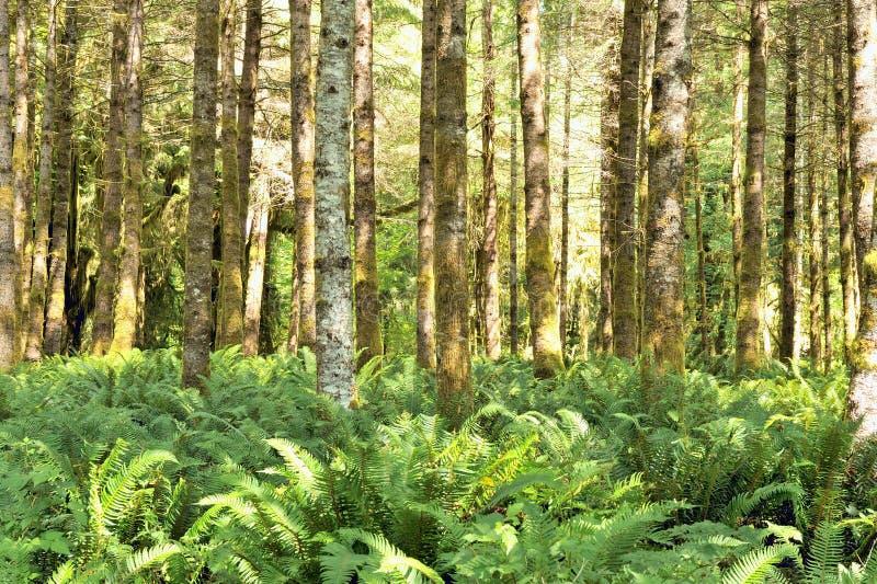 воздержательное дождевого леса quinault папоротников ольшаников красное стоковые фото