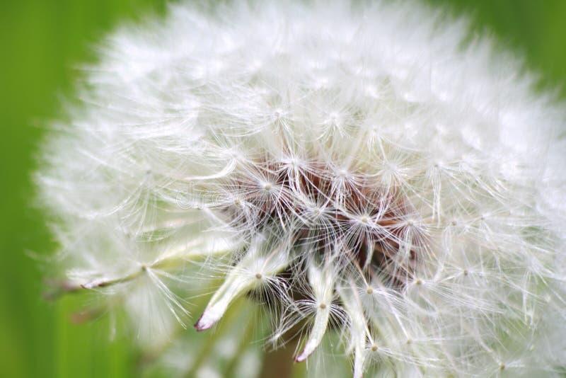Воздушное белое macrofoto одуванчика весны на зеленой предпосылке стоковое изображение
