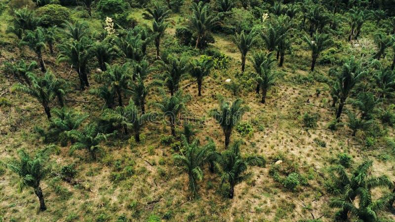 воздушное изображение трутня плантации масличной пальмы как причина для обезлесения тропического леса с коровами скотин кося vege стоковые фотографии rf