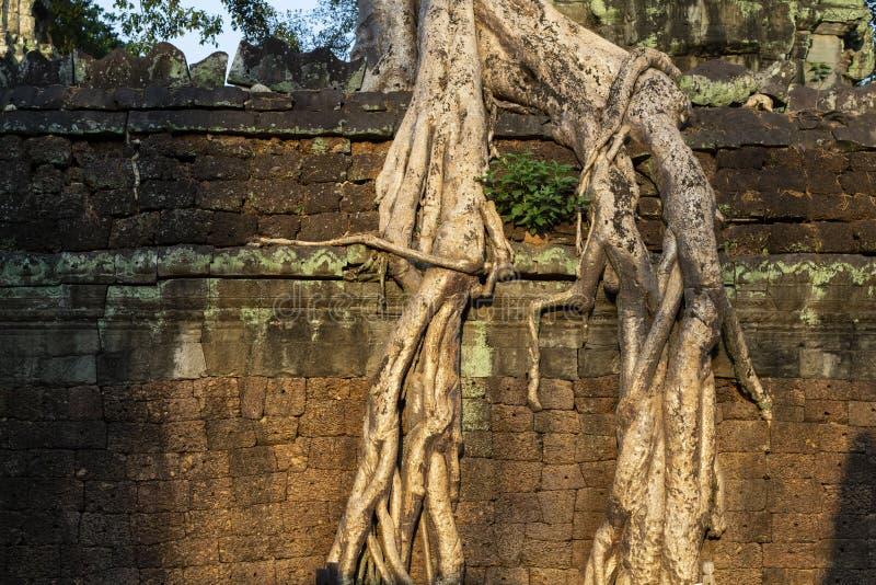 Воздушные корни или лианы над каменной стеной Ландшафт Angkor Wat Старые руины в джунглях в свете захода солнца стоковая фотография rf