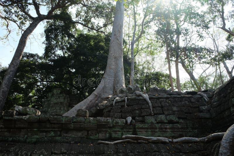 Воздушные корни огромного фикуса на каменных руинах Баньян и руины старой цивилизации стоковая фотография rf