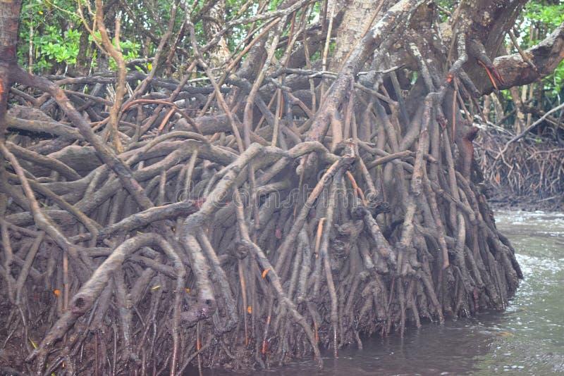Воздушные корни - Adventitious корни - деревьев мангровы - острова Baratang, Andaman Nicobar, Индии стоковые изображения