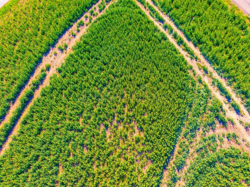 Воздушный взгляд сверху поля урожая земледелия Зеленое поле с дорогой внутрь Свежие зеленые растения растут в ферме Годный к упот стоковая фотография rf