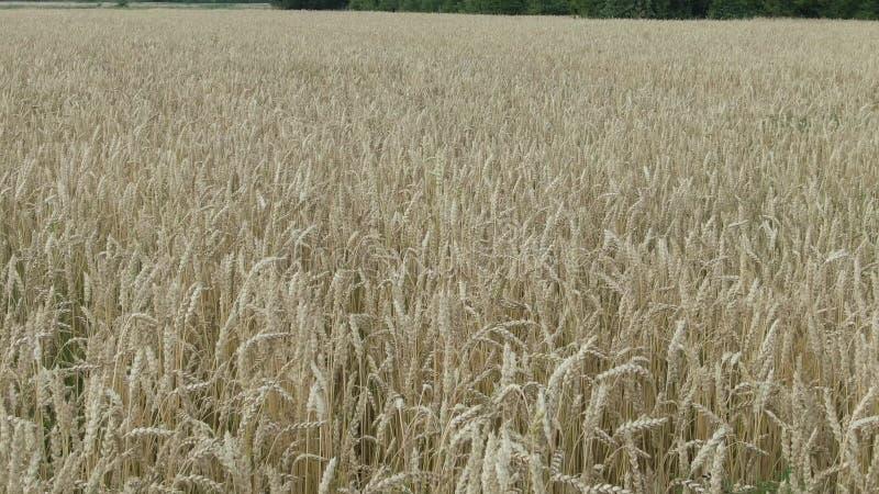 ВОЗДУШНЫЙ КОНЕЦ ВВЕРХ ПО летать близко над обширным желтым пшеничным полем Огромная пламенистая установка солнца за холмами в сел стоковая фотография rf