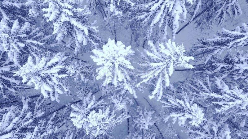Воздушный спуск вверх по видео сигнала камеры красивого голубого снега сосны зимы покрыл лес в 4K стоковая фотография