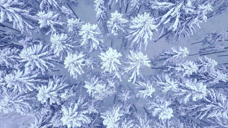 Воздушный спуск вверх по видео сигнала камеры красивого голубого снега сосны зимы покрыл лес в 4K стоковое фото