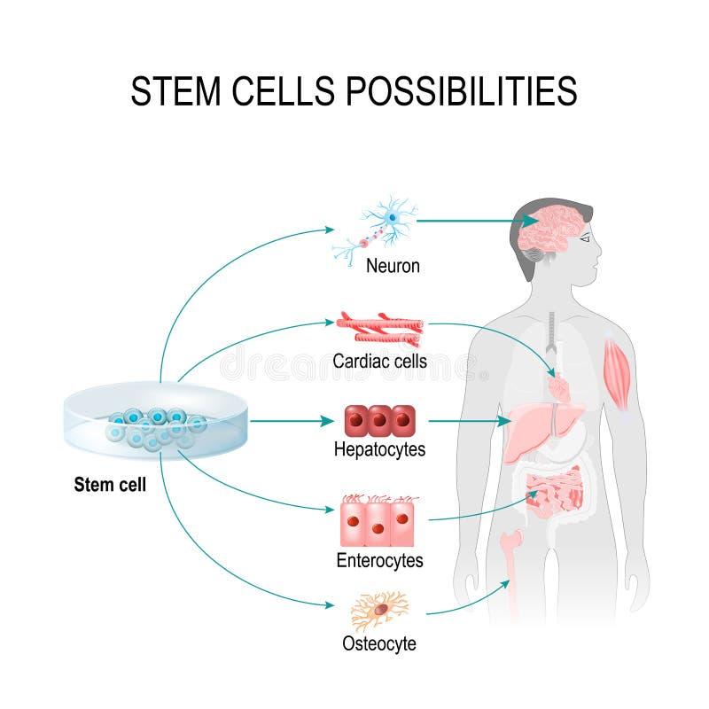 Возможности стволовых клеток иллюстрация вектора
