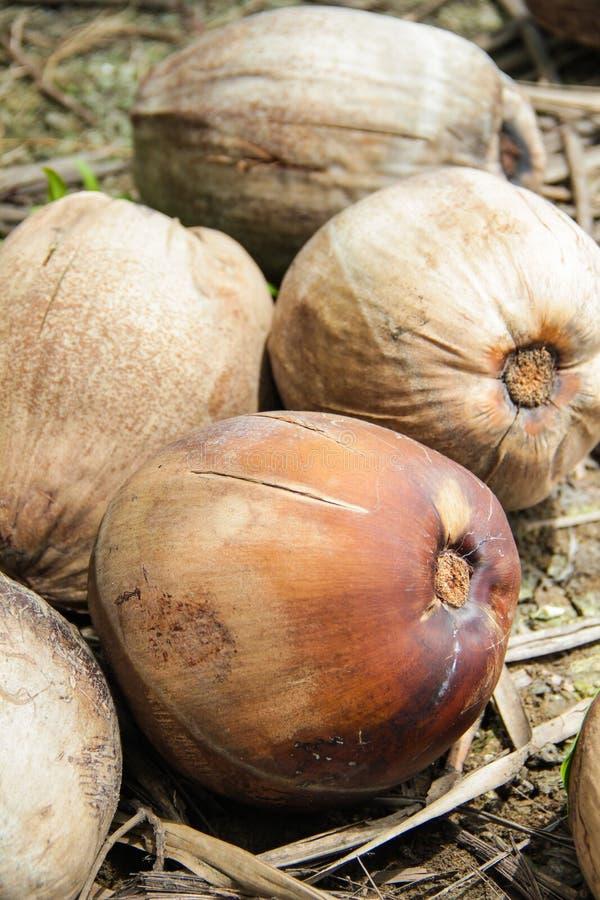 Возмужалые кокосы Стоковые Фото