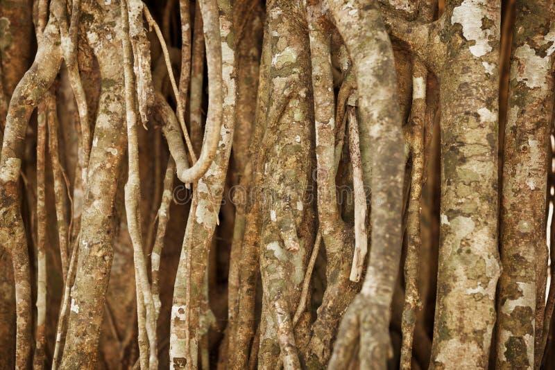 Воздушные корни тропического завода Естественная предпосылка стоковые фото