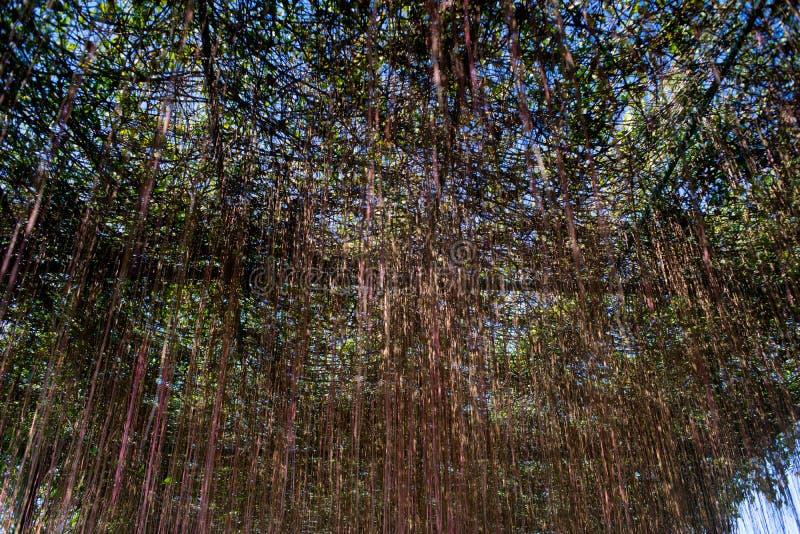 Воздушный корень стоковые фото