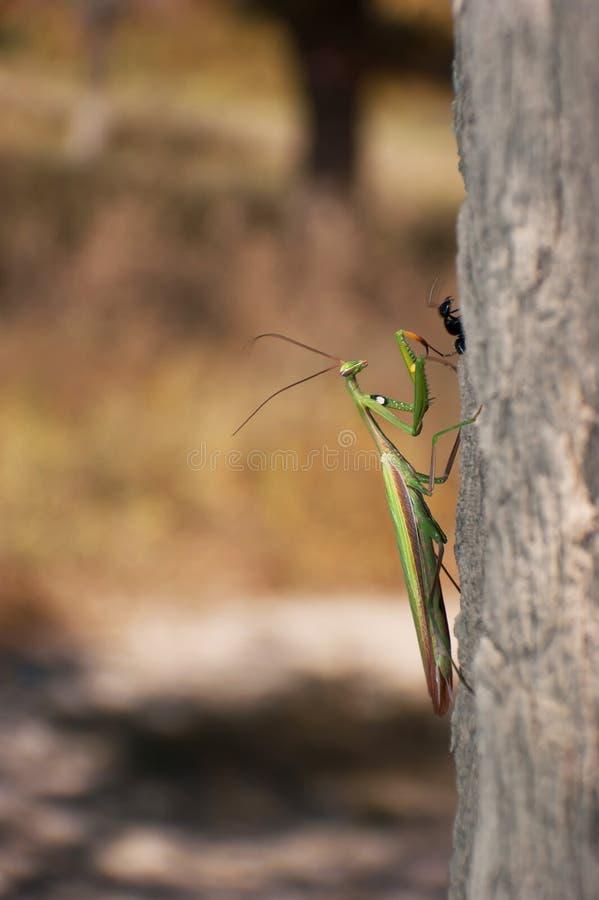 война mantis муравеев стоковое изображение rf