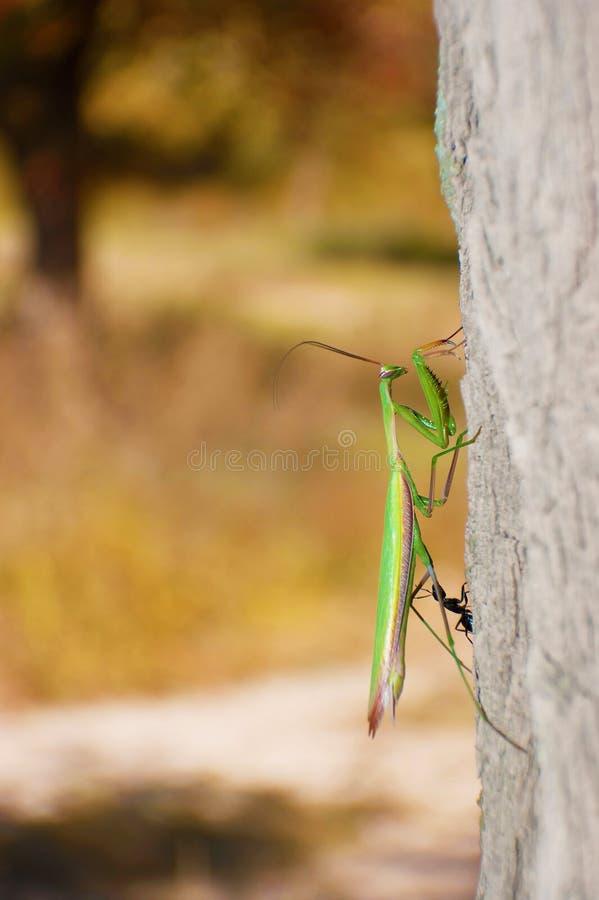 война mantis муравеев стоковое изображение