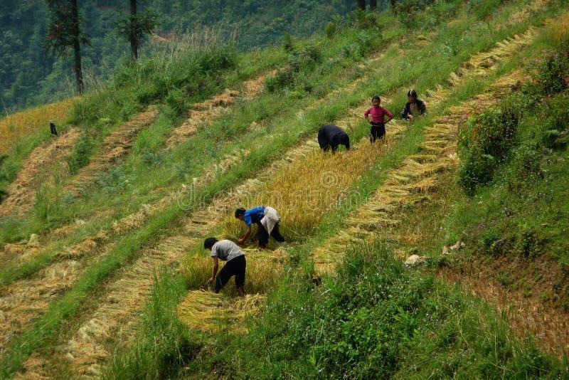 вокруг работников Вьетнама sapa риса поля стоковые фотографии rf