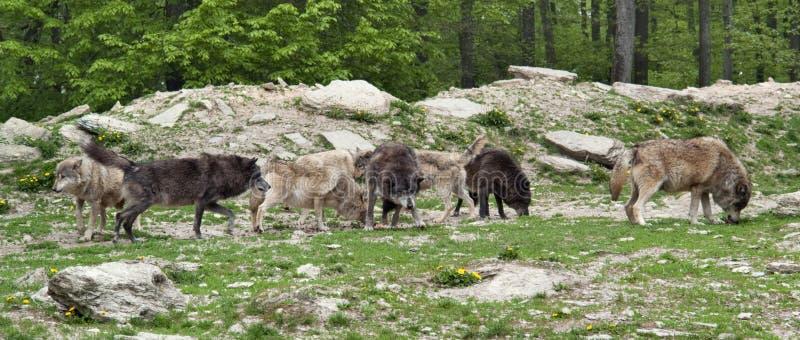 волки пакета стоковое изображение rf