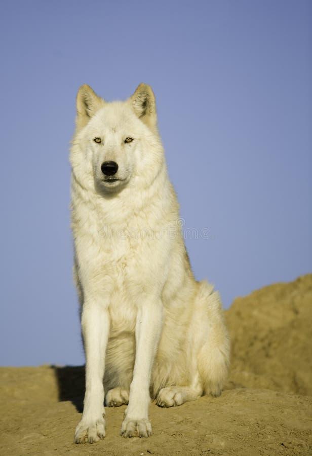 волк вертепа стоковые фото